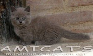Munchkin cat kitten pups sale filhotes gatil criadores Amicats