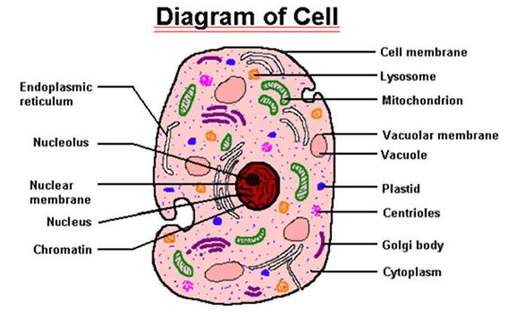 blood cells separate and finals on pinterest : cell labeled diagram - findchart.co