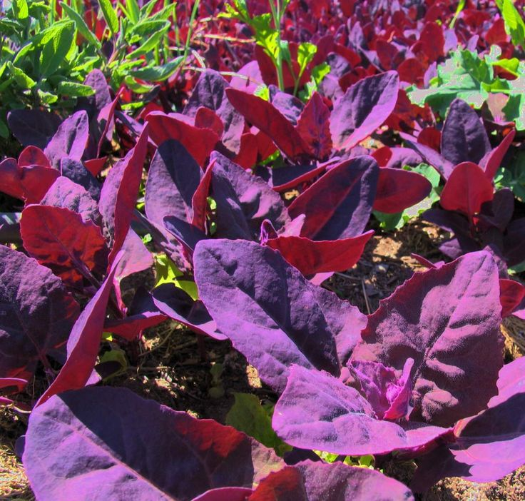 Purple passion spinach, also known as red orach, red orache, or ...