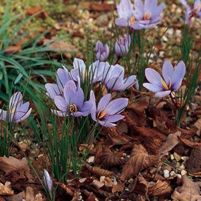 Crocus sativus for saffron threads - in the blueberry patch?