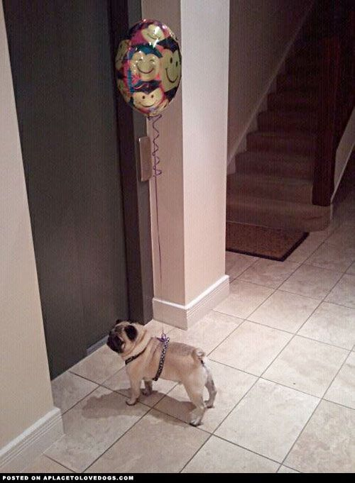 Pug Puppy Surprise - A Place to Love Dogs