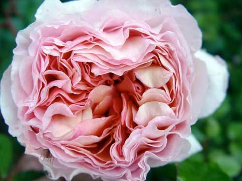 17 best images about my favorite garden roses on pinterest arbors celebrations and tea roses. Black Bedroom Furniture Sets. Home Design Ideas