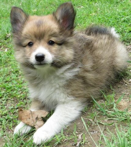 POSHIE PUPPY (Sheltie-Pomeranian mix)! Adorable, Fluffy, Small!