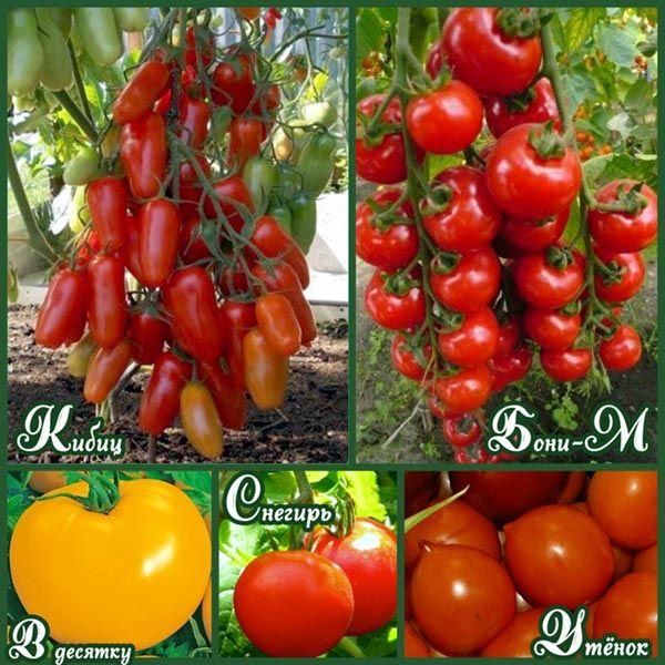 ранние-сорта-помидор-для-открытого-грунта