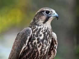 Kerecsensólyom-TURUL      ...amíg a madár szabadon élt, addig hívták kerecsennek, amikor elkezdték idomítani onnantól már turulnak