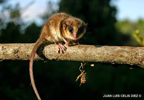 """Monito del Monte or """"mountain monkey"""" (a marsupial not a monkey) is regarded by scientists as a living fossil, as it is the only surviving member of an entire order of marsupials. Only slightly larger than a mouse this little marsupial is an excellent climber. The base of the prehensile tail is capable of storing fat, which enables the animals to hibernate during the winter when food is scarce. Found in Chile & Argentina it is listed as vulnerable due to habitate loss. Image: via Flickr"""