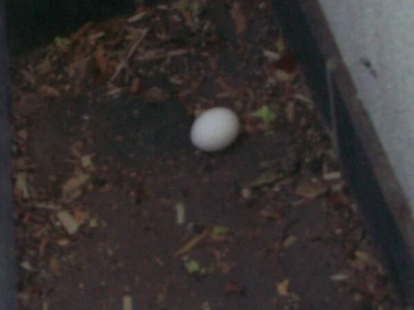 My lorikeets Jas and Geoff laid an egg on my balcony today 22/8/13