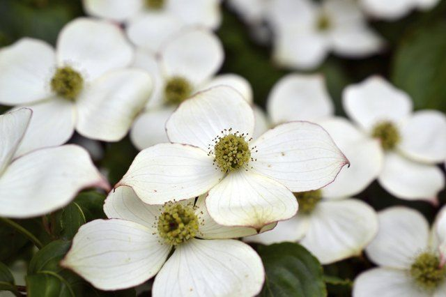 What Causes Dogwood Tree Leaves To Turn Brown Hunker In 2020 Dogwood Shrub Dogwood Trees Dogwood