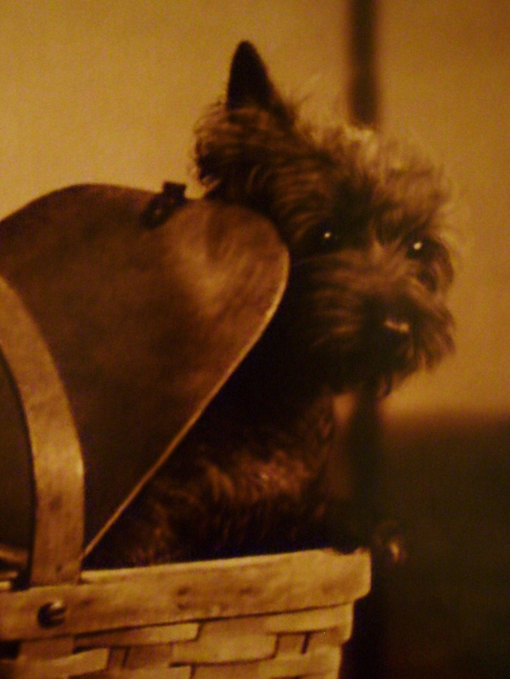 This is Toto in The Wizard of Oz! My grandma loves this movie! I dedicate this picture to her! <3
