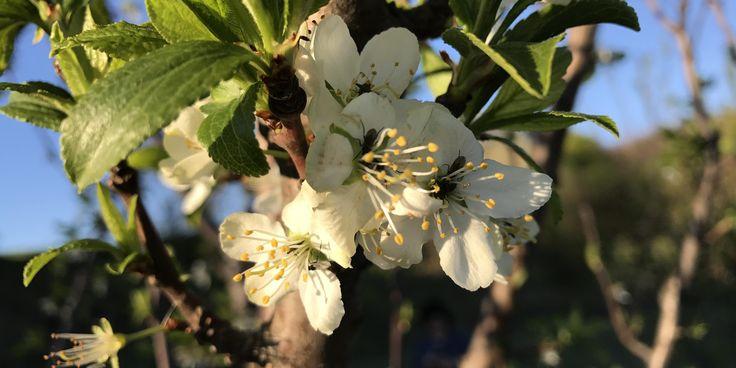 viespea neagra a prunelor (Haplocampa minuta)