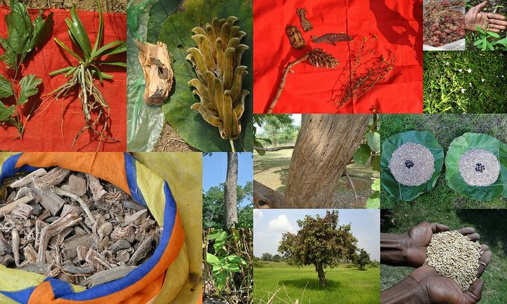Medicinal Rice based Tribal Medicines for Diabetes Complications and Metabolic Disorders (TH Group-589) from Pankaj Oudhia's Medicinal Plant Database