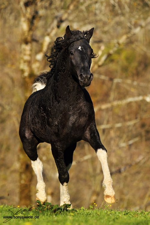 Curly Missouri Foxtrotter Stallion. l by ~sowi01 on deviantART by ~sowi01 Photography / Animals, Plants & Nature / Domesticated Animals ©2012-2013 ~sowi01 x