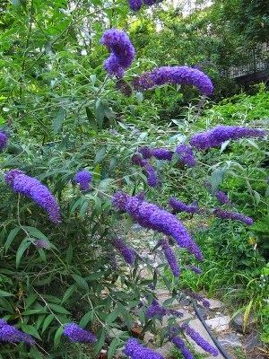 Butterfly Bush Planting: Tips On Caring For Butterfly Bushes....