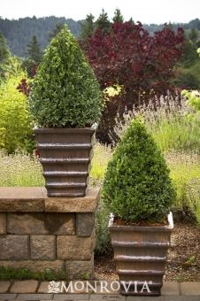 'Green Mountain' boxwood  Buxus 'Green Mountain' is a cross between cold-hardy Korean boxwoods and evergreen boxwood. It features deep green winter color and grows 5 feet tall and 3 feet wide. Zones 4-8. Partial to full sun. Needs regular watering - weekly, or more often in extreme heat.