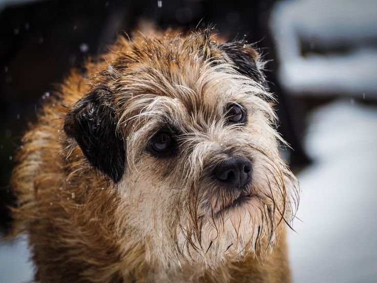 """Max Border Terrier on Twitter: """"Looking like a yeti in the cold white stuff ❄️❄️ https://t.co/j482ItFyUO"""""""