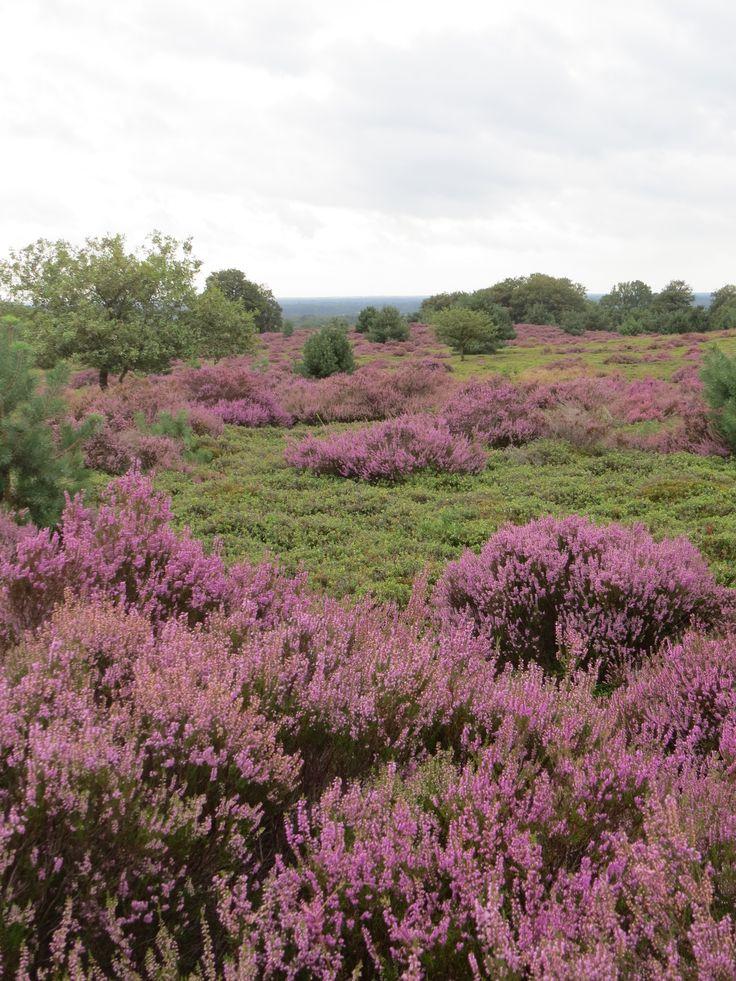 2014-08 Heide in bloei op de Sprengenberg