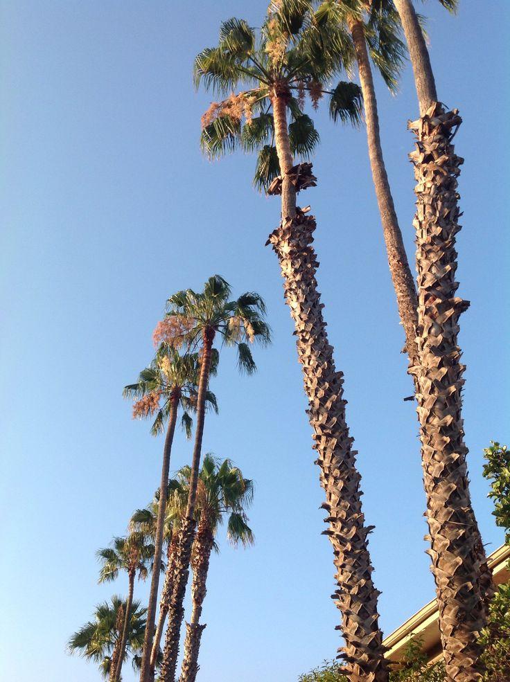 California   Santa Monica Palms