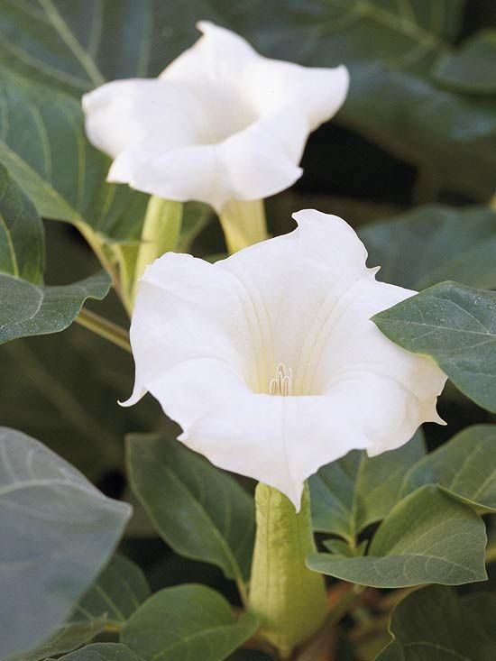 Moonflower (datura) is a beautiful, fragrant trumpet-shaped flower that unfurls its beauty in the evening. While these plants are heat, drought and deer resistant, they are also poisonous.