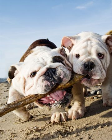 Top 10 dog beaches around the U.S. | pets | dogs | dog parks | best places for dogs | travel | English Bulldogs