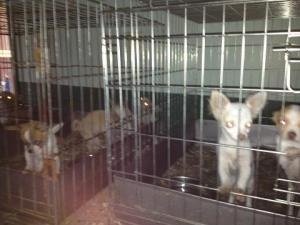puppy mill is an adoptable Chihuahua Dog in Wooster, OH. The Richland County Ohio Humane Society and the Humane Society of the United States worked together to close a kennel in Shelby Ohio with more ...