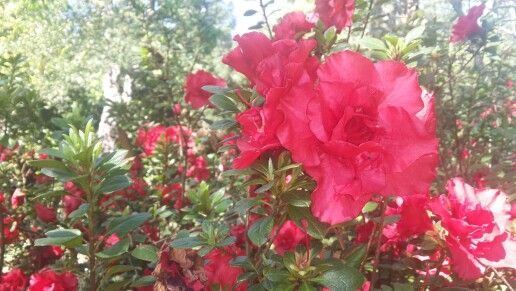 Azalea, bright red and very full, abundantly blooms in springtime in Hogsback, S. A.