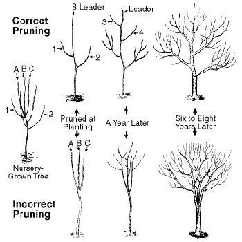 Fruit Trees Require Pruning The Removal Of A Portion Tree To Correct Or Maintain Structure For Optimum Plant Health Growth And Set
