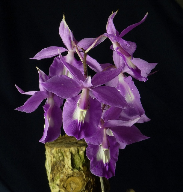 191 best Barkeria \/ Basiphyllara images on Pinterest Orchids - grten