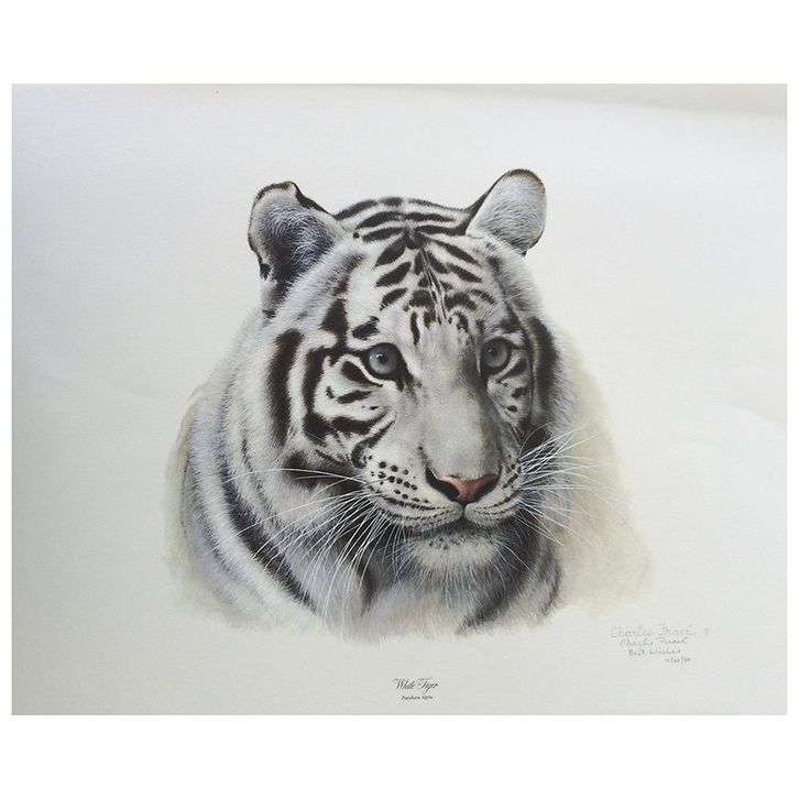Print - White Tiger by Charles Frace'