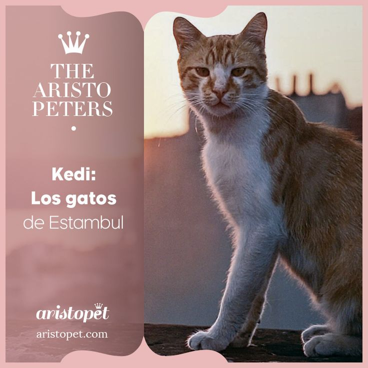 """""""Kedi"""" es una película sobre los cientos de miles de gatos que han andado libremente en Estambul durante miles de años, formando parte de la vida de los habitantes, impactando en ellos en formas, en las que sólo un animal que vive entre lo """"salvaje"""" y lo domesticado puede hacerlo. En Estambul, los gatos son el espejo de nosotros mismos. Os invitamos a conocer los detalles de este documental y el tráiler en aristopet.com/aristopeters/kedi"""