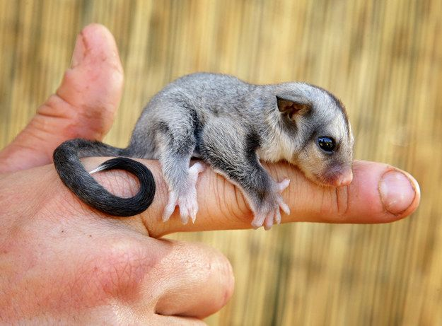 Meet Ryder, the baby sugar glider. He's 80 days old and a resident of Queensland Zoo. Most importantly, he's cute AF. | These Pictures Of A Baby Sugar Glider Are So Cute It Hurts