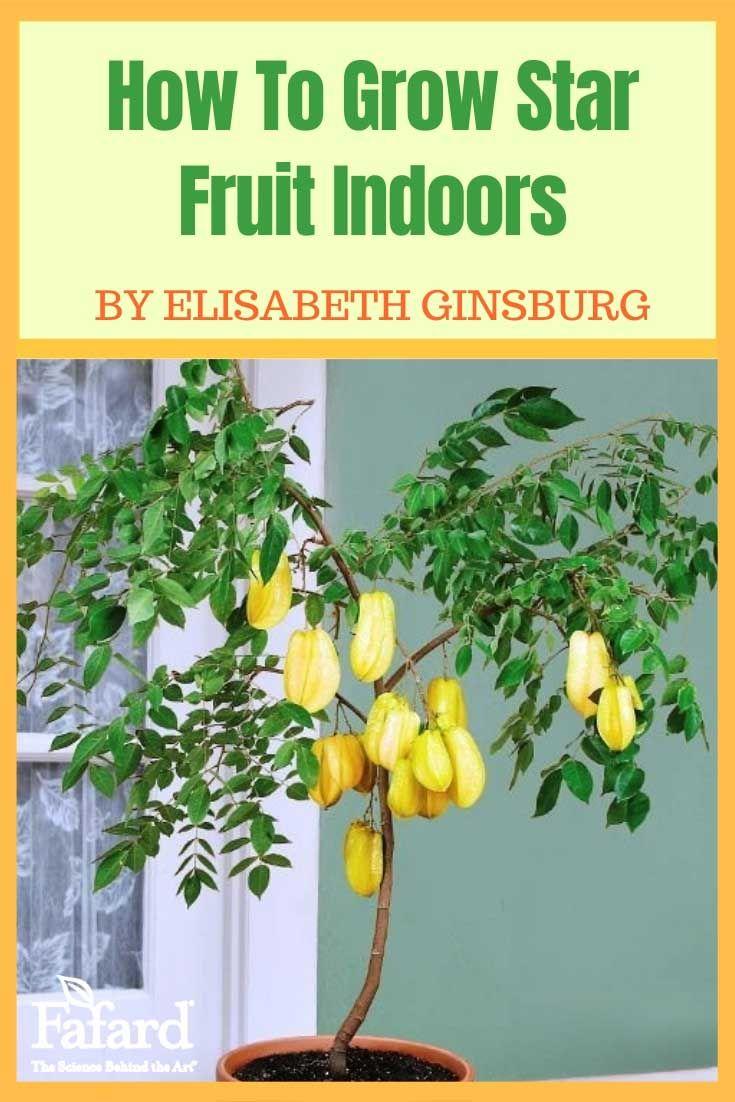 How To Grow Star Fruit Indoors Indoor Fruit Trees Indoor Fruit Gardening For Beginners