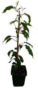 3-x-Minikiwi-Pflanzen-BAYERNKIWI-Actinidia-arguta-Kiwi-Pflanze-winterhart-SET