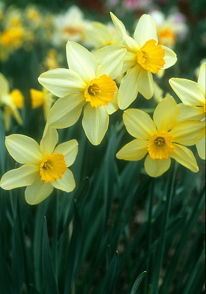 Heirloom daffodil - Brilliancy