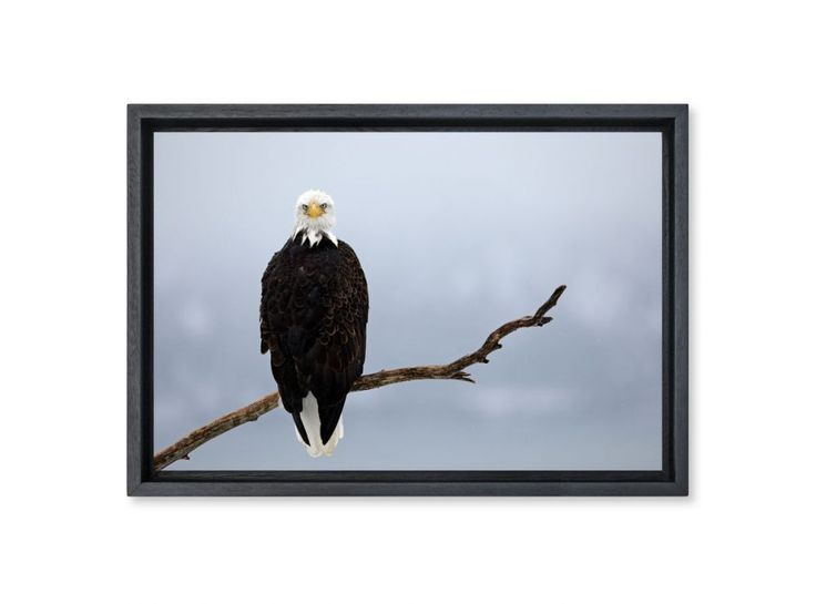 Pygargue à tête blanche, Alaska, Etats-Unis. ©️LOUIS-MARIE PREAU - Hemis Galerie
