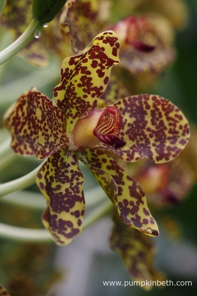 An close up of an Grammatophyllum speciosum flower.  Photograph taken at the Royal Botanic Gardens, Kew on 24th September 2015.