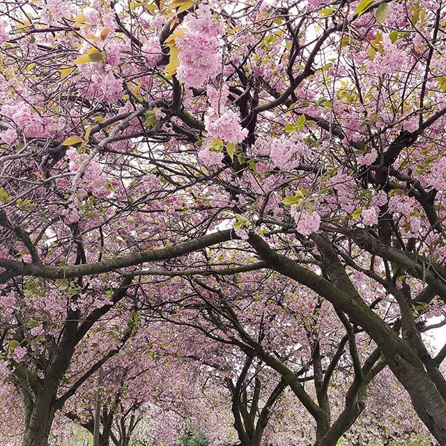 In Japan Cherry Blossoms Are Called Sakura A Special Flower For The People And The Country Cherry Blossoms Are A Symboli Special Flowers Cherry Blossom Hanami