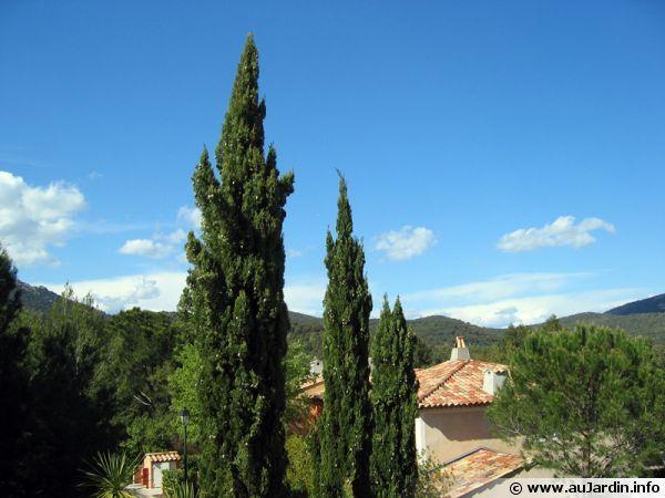 Cyprès commun, Cyprès de Provence, Cyprès d'Italie, Cupressus sempervirens