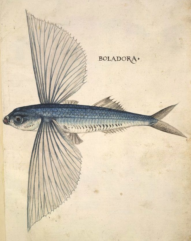 322 best flying fish images on Pinterest   Fishing, Pisces and Peach