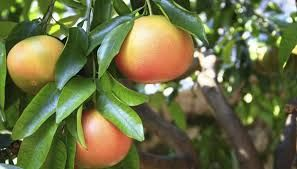 Image result for growing grapefruit