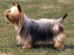 Chien Silky Terrier  issu du croisement entre le Terrier du Yorkshire et le Terrier australien
