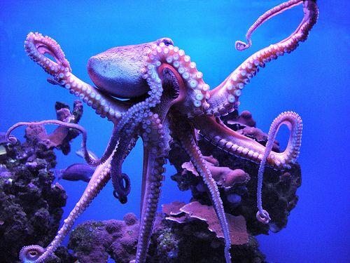 Purple octopus