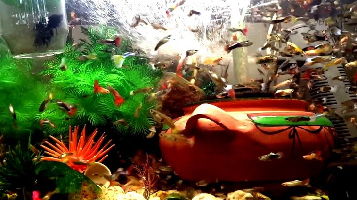 Adding salt Edited Video#fish #tank #howto #make #design #aquarium #FHD #1080P #NEW #2017 #Freshwater #Setup #Disease #Breeding #Plants #Books #Articles #Saltwater  #Guide #Reef #Coral #Live #Rock #Equipment #Reviews #Light #Brine #Shrimp #Hatchery #Osmosis #UV #Sterilizer #Chiller #most #pictures #videos  #movies #youtube #ever  Freshwater Fish Barbs Betta Catfish Cichlids Freshwater Inverts Gourami Livebearers Loaches Puffers Tetras Saltwater Fish Angelfish   Dwarf Angelfish - Large…