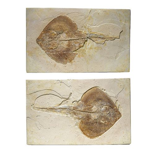 Cretaceous Ray Fish Fossil