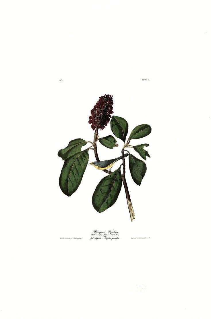 Princeton Audubon Bonaparte Flycatcher