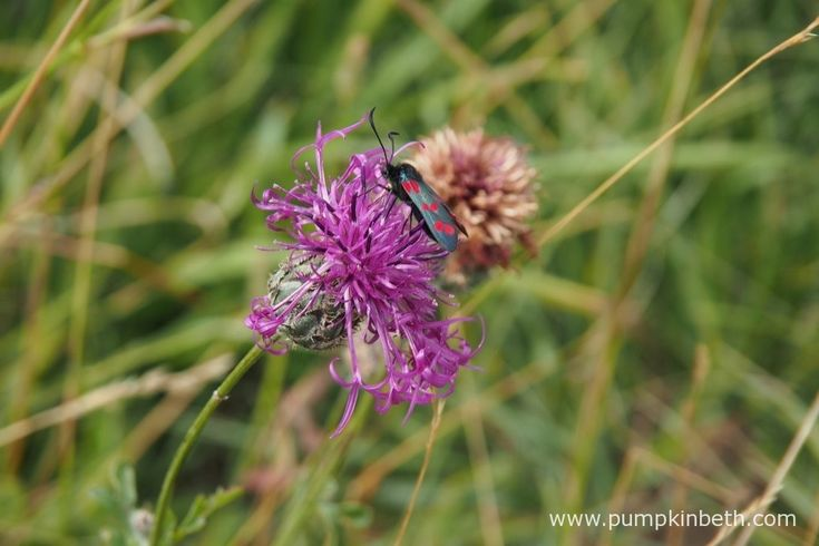 A day flying moth, possibly a Six-Spot Burnet, Zygaena filipendulae, feeding on Centaurea scabiosa, also known as Greater Knapweed, at Pewley Down Nature Reserve in Guildford.