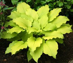 """Hosta """"Dancing Queen""""....love the lime color and scalloped leaves"""