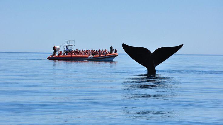 De junio a diciembre es el momento y Chubut es el lugar: la ballena franca austral llega a Península Valdés y desde la playa o en embarcaciones es posible acercarse para un viaje en conexión plena con la naturaleza. A fines de junio se hizo el lanzamiento oficial de la temporada de avistaje en Puerto Pirámides