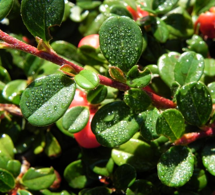 1000+ ideas about Cotoneaster Dammeri on Pinterest  Buxus
