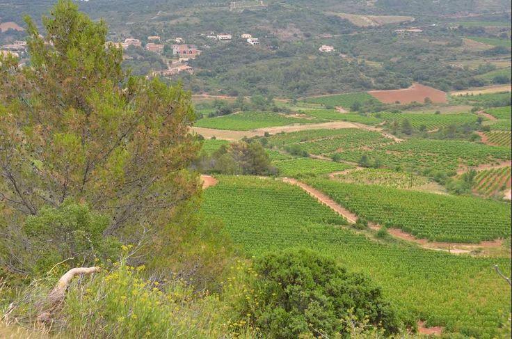 Au coeur du vignoble St Chiniannais, environ 30ha de vignes dont 3 îlots principaux La majeure partie classée St Chinian, le reste en AOP Languedoc Syrah, Grenache, Mourvèdre, Carignan, Cinsault Matériel de culture complet