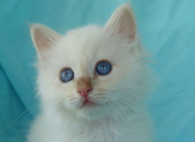 Tigerlino at nine weeks old...